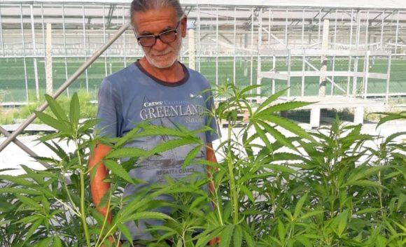 Cannabis Sativa L